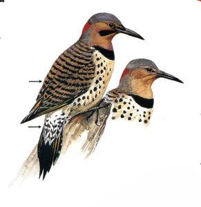 Flicker woodpeckers, for Ben Burrt's bird column in Stars