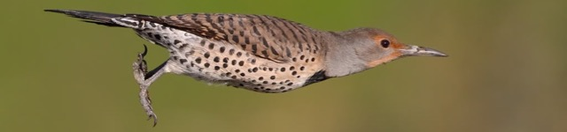Northern Flickers Take Up Residence