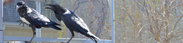 Unfun Things About Taking Care of Crows