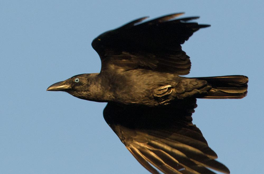 Released crow