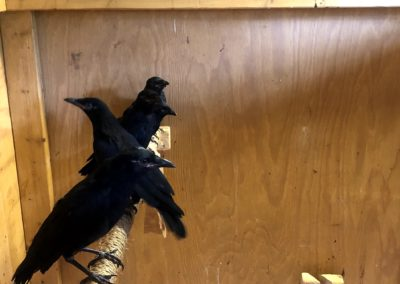 Fledge Crows before release